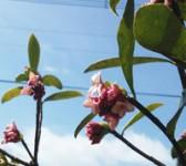 春のあしおと(沈丁花の花)